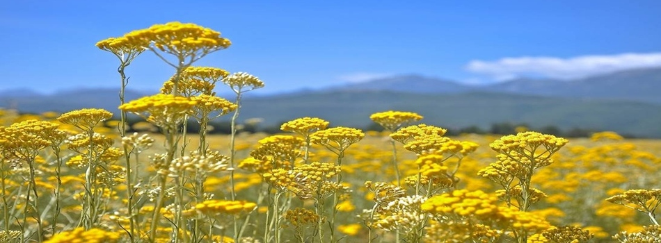 Immortelle nature